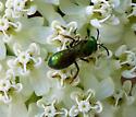 Type of Bee..Small Green? - Augochlorella aurata
