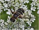 Bee Fly - Villa arenicola - female