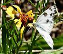 Checkered White butterfly - Pontia protodice