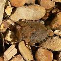 Big-Eyed Toad Bug - Gelastocoris oculatus