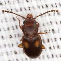 Lined Flatbark Beetle  - Laemophloeus biguttatus