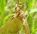 insect - Hexagenia limbata