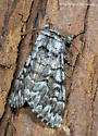 Unknown Moth - Panthea virginarius