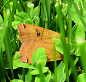 orange moth in grass - Noctua pronuba