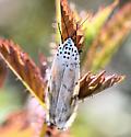 110220MothBG - Utetheisa ornatrix