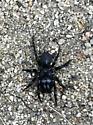 Purseweb spider?? - Sphodros niger