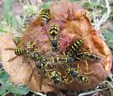 Western Yellowjacket - Vespula pensylvanica - female