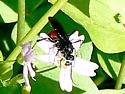 small wasp - Priocnemis oregona
