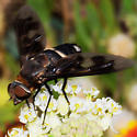 Huge Beefly - Exoprosopa ingens