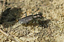 Sidewalk Tiger Beetle - Cicindelidia punctulata