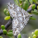 Carpet Moth - Tijuana Slough - Perizoma epictata