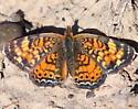 Sagebrush Checkerspot --- Chlosyne acastus ?? - Phyciodes tharos - female