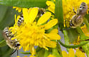 Megachilid Bees - Colletes