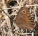 brown butterfly - Cercyonis pegala - female
