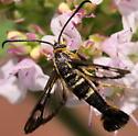 Strawberry Crown Moth? - Synanthedon bibionipennis