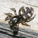 Zebra Spider - Salticus scenicus
