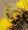 Bee ?? - Perdita - male - female