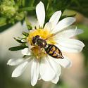 Fly - Toxomerus marginatus - female