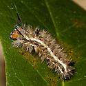 caterpillar unknown - Dahana atripennis