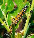 Orange and Black Caterpillar - Uresiphita reversalis