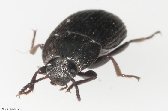 Darkling beetle size - photo#9