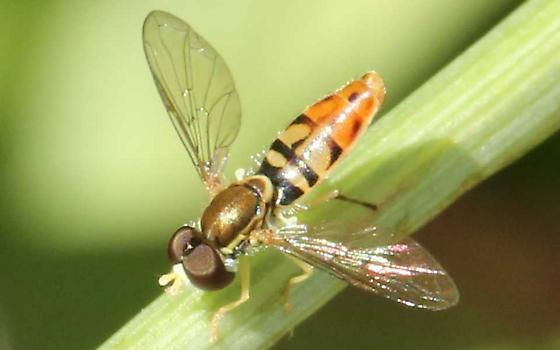 a syrphid fly? - Toxomerus marginatus
