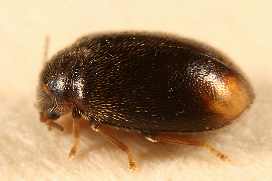 Marsh beetle - Contacyphon padi