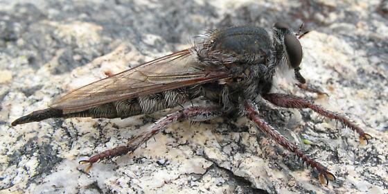 Robber fly - Promachus truquii - female