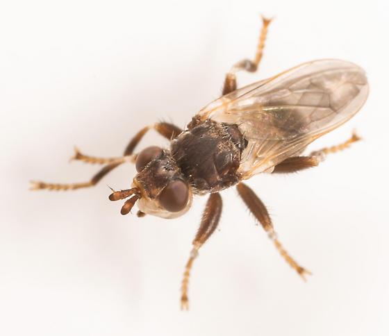 Fly - Myopa vesiculosa