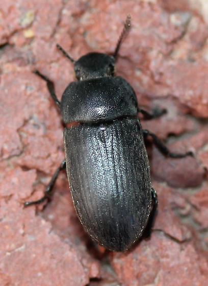 Tenebrionidae - Blapstinus