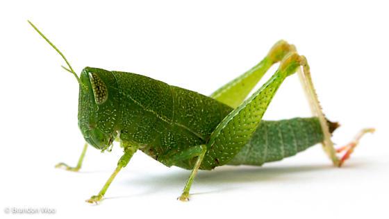 Aptenopedes aptera - female