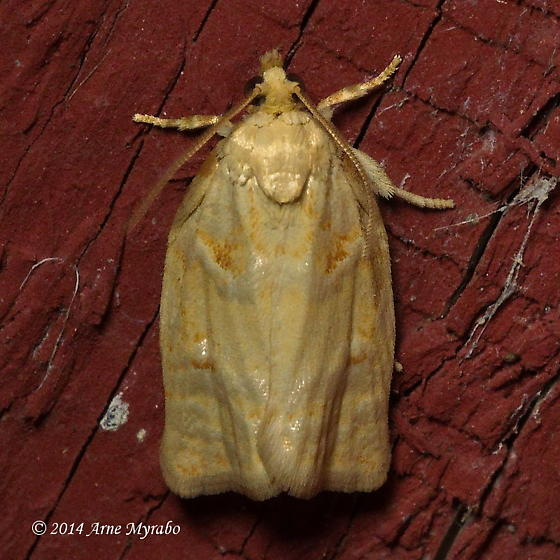 Larger Boxelder Leafroller Moth - Hodges#3654 - Archips negundana