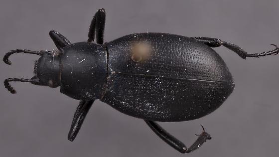 Eleodes 2? - Eleodes extricata - female