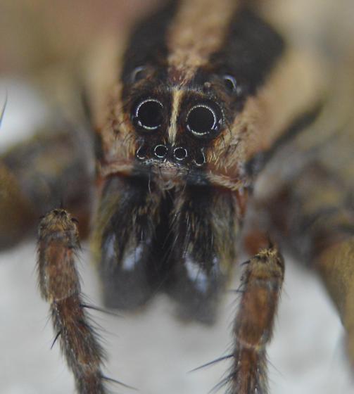 Wolf Spider - Rabidosa carrana - female