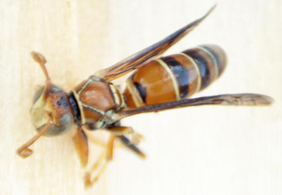 Family Vespidae, Polistes dorsalis?