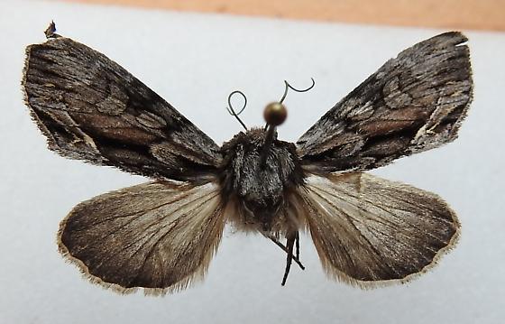 Hyppa contrasta - Hodges#9579 - Hyppa contrasta - female