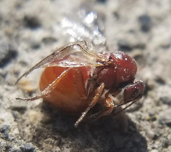 Gall Wasp - Andricus quercuscalifornicus