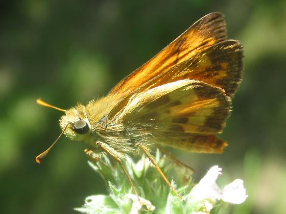 Poanes taxiles - male