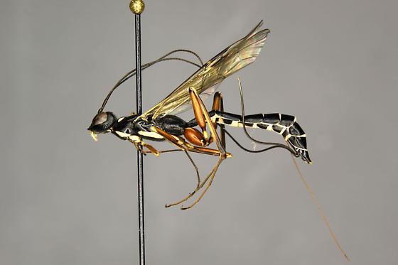 Neoxorides caryae female - Neoxorides caryae - female
