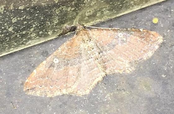 Small moth  - Orthonama obstipata