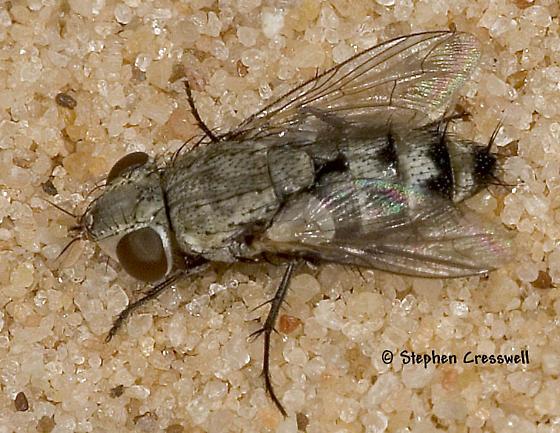 New Mexico Fly - Phrosinella - female