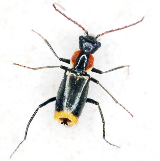 Beetle - Axinotarsus pulicarius - male