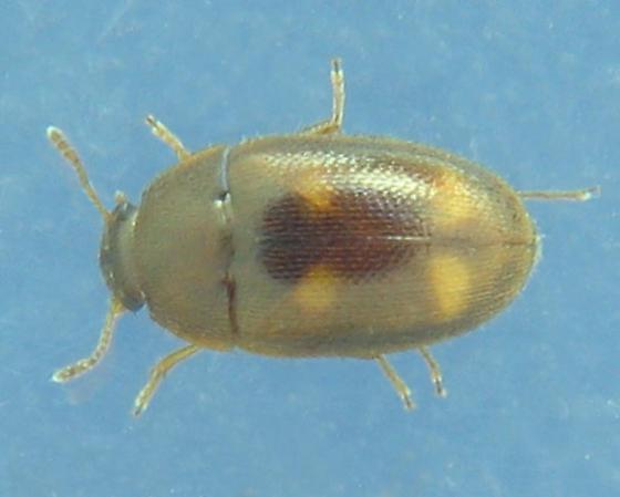 Mycetophagidae: Litargus tetraspilotus? - Litargus tetraspilotus