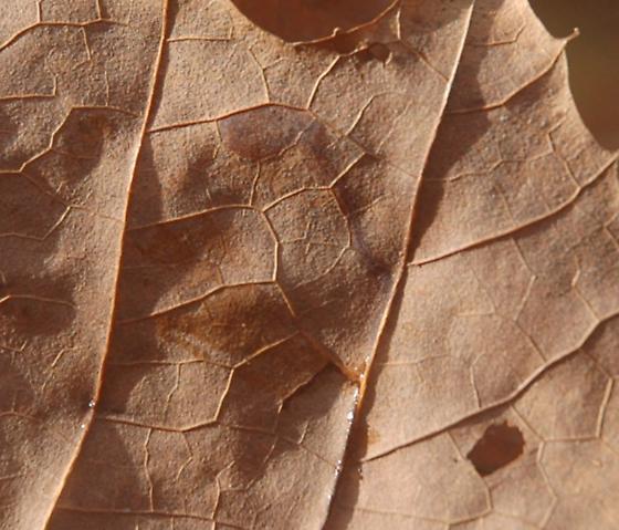 Glennstone leaf miner on Platanus occidentalus D222 Stigmella maybe 2015 4 - Ectoedemia clemensella