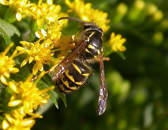 Sandhills Hornet - worker - Dolichovespula arenaria - female
