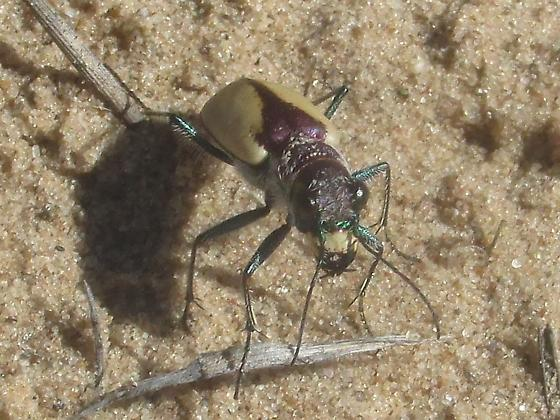 Cicindela formosa gibsoni - Cicindela formosa - male
