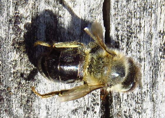 Dark Honeybee - Apis mellifera - female