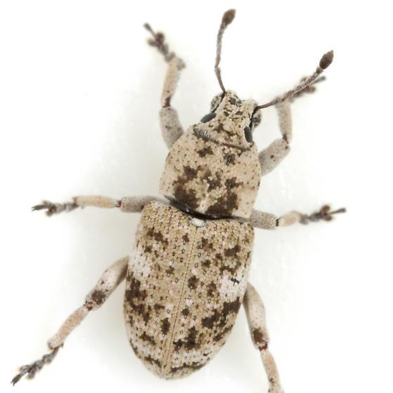 Colecerus marmoratus (Horn) - Colecerus marmoratus