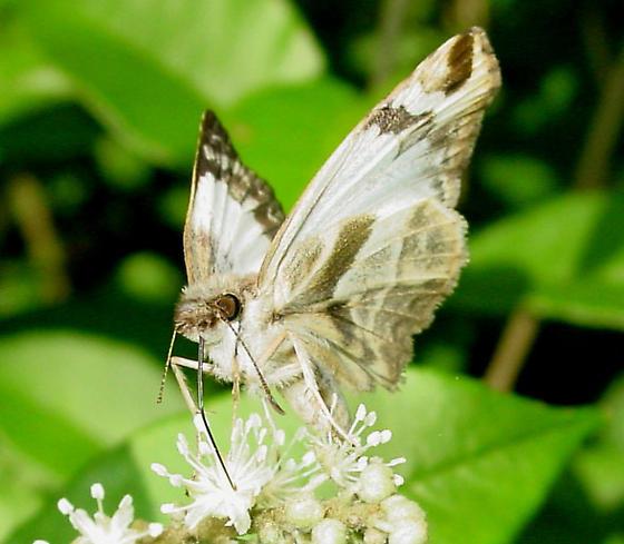 Laviana White-Skipper - Heliopetes laviana - female