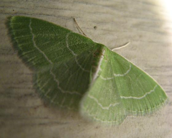 Synchlora aerata - Wavy-lined Emerald - Synchlora aerata